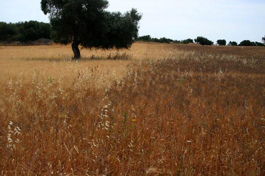 Agriturismo a Siracusa: campo di grano in estate. Nella porzione che appare più scura coltiviamo una antica varietà di grano siciliano