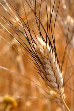 Agriturismo Siracusa: una spiga di un'antica varietà di grano. Meno produttiva ma di qualità superiore e più resistente